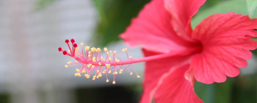 Découvrez la merveille cachée dans notre nouveau soin: le Vinaigre d'Hibiscus